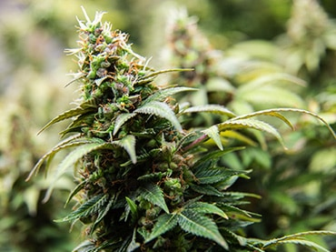 cannabis legal recreational and medical in arizona now